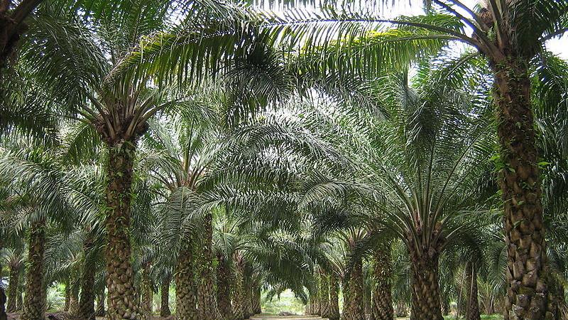 Palmová plantáž v Malajsii